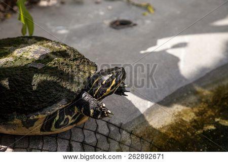 Yellow Bellied Turtle Trachemys Scripta Scripta Swims In A Pond
