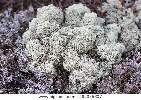 Lichen - Cladonia Rangiferina In Cloudy Weather As A Background. Siberian Moss. Reindeer Moss.