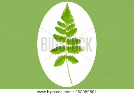 Vegetable Fern Leaf, Diplazium Sp., On White And Green Background