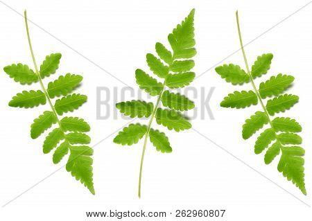 Vegetable Fern Leaf, Diplazium Sp., On White Background