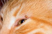 mite bloodsucker stuck in the eyelid of a red cat poster