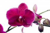 Beautiful red orchid flower isolated on white background poster