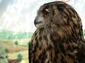 Bubo bubo - Eurasian Eagle Owl, European  Eagle owl, close up poster
