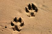 Dog paw prints in the beach sand poster