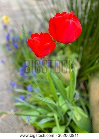 Vibrant Red Springtime Tulips In Garden With Grass Background