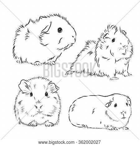 Guinea Pig Or Cavy Inky Hand Drawn Sketch Vector Illustration, Guinea Pig Vector Sketch Illustration