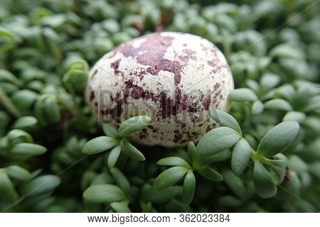 Beautiful Small Quail Egg Lying On A Green Cress In Close-up For Easter