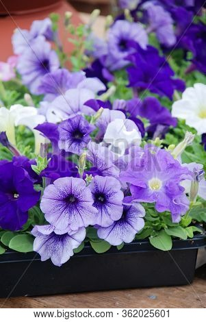 Petunia, Blue Petunias In The Tray,petunia In The Pot, Mixed Color Petunia