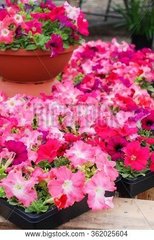 Petunia, Pink Petunias In The Tray,petunia In The Pot, Mixed Color Petunia