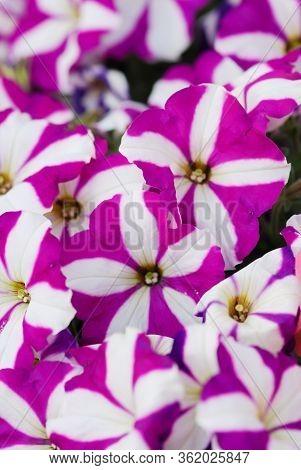Petunia ,petunias In The Tray,petunia In The Pot, Purple Star Petunia