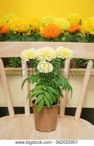 Marigolds White Color (tagetes Erecta, Mexican Marigold), Marigold Pot Plant On Wood Chair