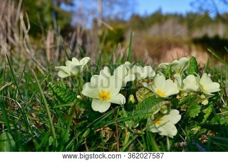 View Of Spring Flowers, Primrose, South Bohemia, Czech Republic