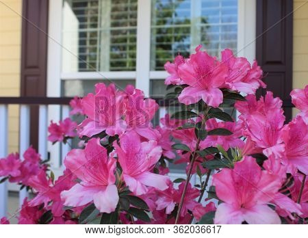 Blooming Pink Azaleas In Front Of House Window