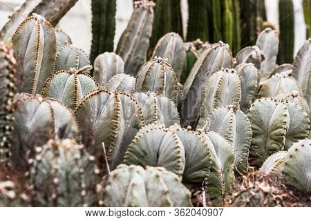 Cactus Plants. Astrophytum Is A Species Of Cactus Plant In The Genus. Cactus Patterns. Cactus Plants