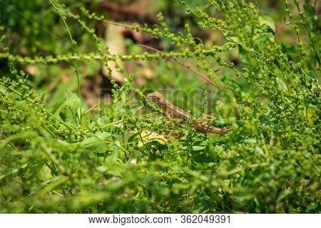 Closeup Of A Oriental Garden Lizard, Also Known As Common Tree Lizard, Eastern Garden Lizard, Bloods
