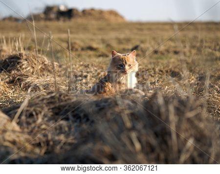 Red Kitten In The Field. Cat Basks In The Sun