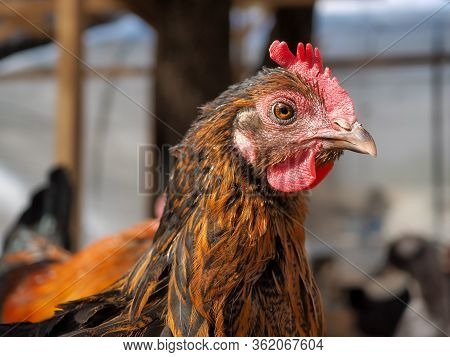 Portrait Of A Beautiful Chicken In The Sunlight