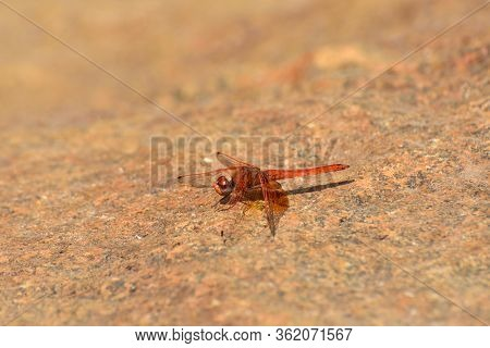 Red Russet Dropwing Dragonfly On Stone (trithemis Pluvialis), Rustenburg, South Africa
