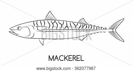 Mackerel. Commercial Fish Species. Colored Vector Illustration. Linear Icon. White Isolated Backgrou