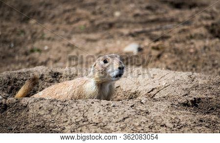 Prairie Dog In Cherry Creek State Park, Denver, Colorado