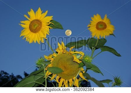 Three Sunflowers Blooming Against Blue Sky With Full Moon