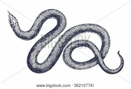 Vintage Snake Vector Engraving Illustration. Hand Drawing Dangerous Reptile Isolated On White Backgr