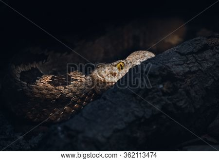 A Pit-viper Of The Bothrops Family Of Snakes. Responsible For More Deaths In Central And South Ameri