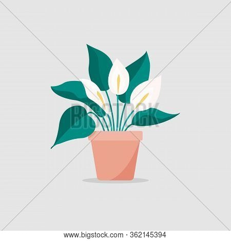 Vector Flat Illustration Of A Spathiphyllum Isolated On White Background, Home Plant In A Pot