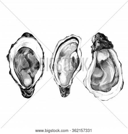 Sketch Of Pacific Oysters Isolated On White. Vector Illustration Of Edible Mollusc. Hand Drawn Seafo