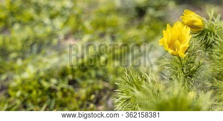 Panoramic View To Spring Background Art With Yellow Flowers Adonis Vernalis, Pheasant's Eye, False H
