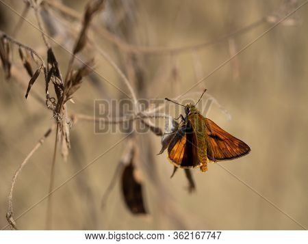 Large Skipper Male (ochlodes Sylvanus) Butterfly Sitting On Dry Plant