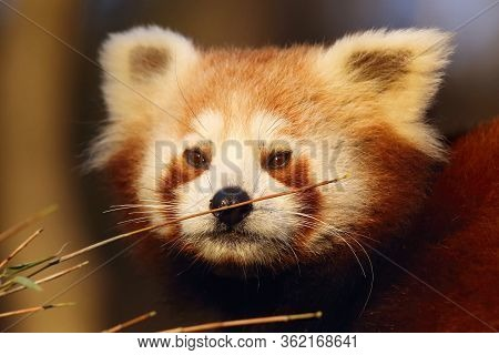 The Red Panda (ailurus Fulgens) Fire Fox Or Lesser Panda Bear,the Red-cat, And The Cat-red Bear, Por