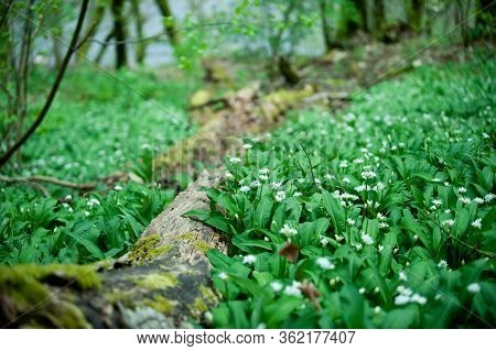 Allium Ursinum Known Es Wild Garlic, Ramsons, Buckrams, Broad-leaved Garlic, Wood Garlic, Bear Leek
