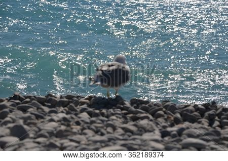 Seagull Portrait Against Sea Shore. Close Up View Of White Bird Seagull Sitting By The Beach. Wild S