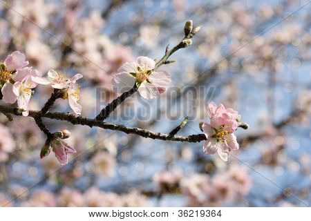 almond branch in bloom and blurred lights background poster
