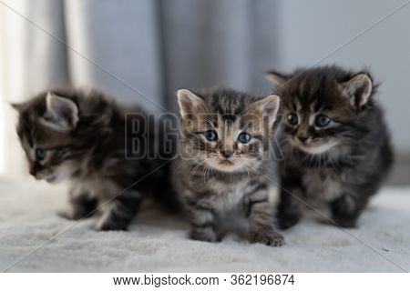 Three Little Kittens. Shorthair Breed Of Animals. Sitting At Home On The Bed.