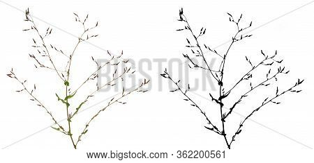 Thee Branch With Many Unopened Buds And Young Leaves And Identical Black Mask Beside Isolated On Whi