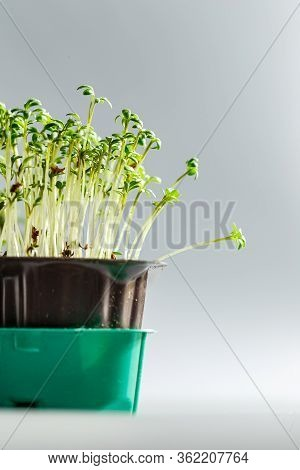 Young Cress Salad Microgreen Sprouts With Water Drops Macro Closeup. Superfood, The Concept Of A Hea