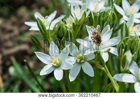 Honey Bee Worker Collecting Pollen From Flower