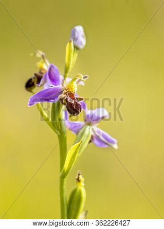 Detail Bee Orchid (ophrys Apifera) Pink Flowers Mimicing Humblebee Insects To Polinate The Flower. O