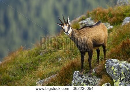 Interested Tatra Chamois Standing In Steep Slope Of Hillside In Summer.