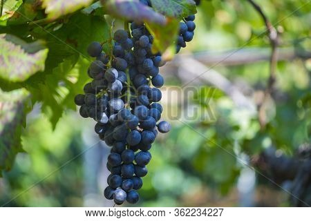 Single Bunch Of Grapes On Vine Copy Space.