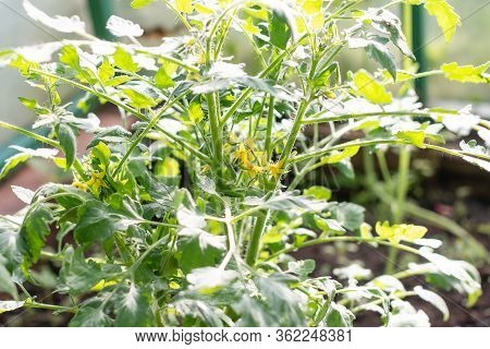 Tomato Sprouts Greenhouse, Sprouted Tomato, Potted Tomato Seedlings. Spring Seedlings.gardening. Gro