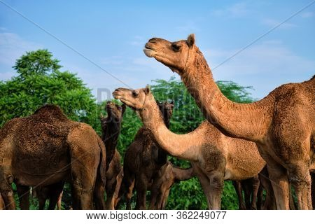 Camels at Pushkar Mela Pushkar Camel Fair famous tourist attraction in Pushkar, Rajasthan, India