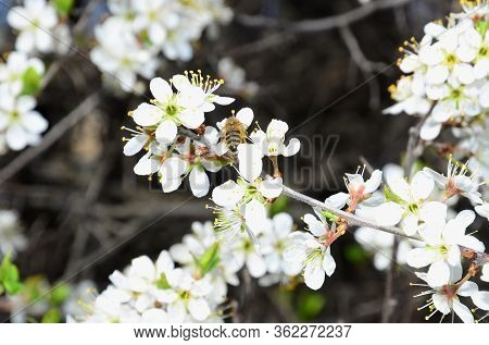A Bee Sits On A Blossoming Branch Of Blackthorn.