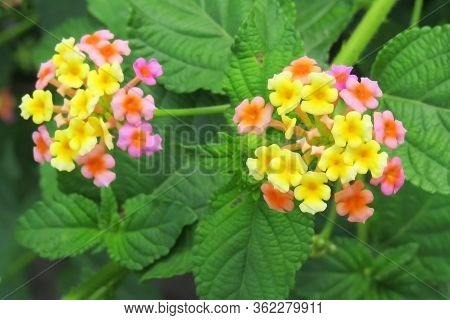 Lantana Flower Image, Lantana Is Commonly Known As Umbels, Wild Sage. This Flower Booms In Summer To