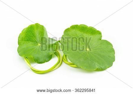 Green Asiatic Pennywort (centella Asiatica ) On White Background