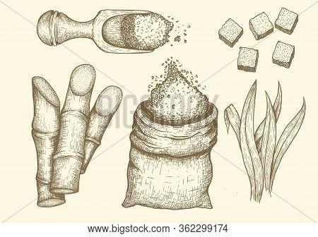 Collection Of Sugarcane: Cane Sugar And Sugarcane. Vector Hand Drawn Engraved Set Illustration.