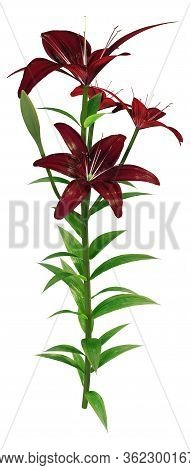 3D Rendering Midnight Mystery Asiatic Lily On White