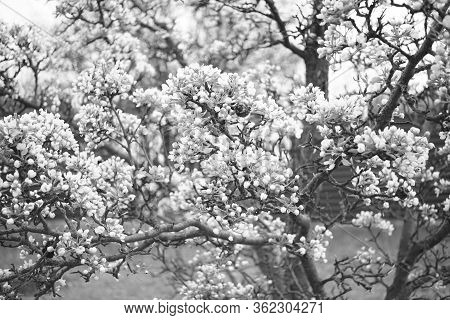 Blooming Pear Tree Closeup Branches In Flowers, Bw Photo.